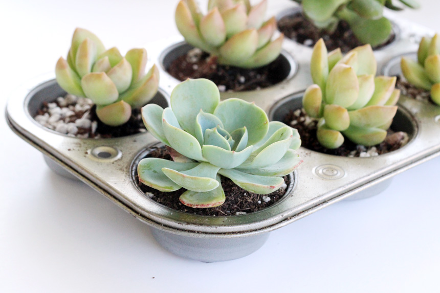 DIY Muffin Tin Planter | Ann-Marie Loves Paper